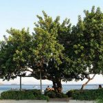 carob-tree